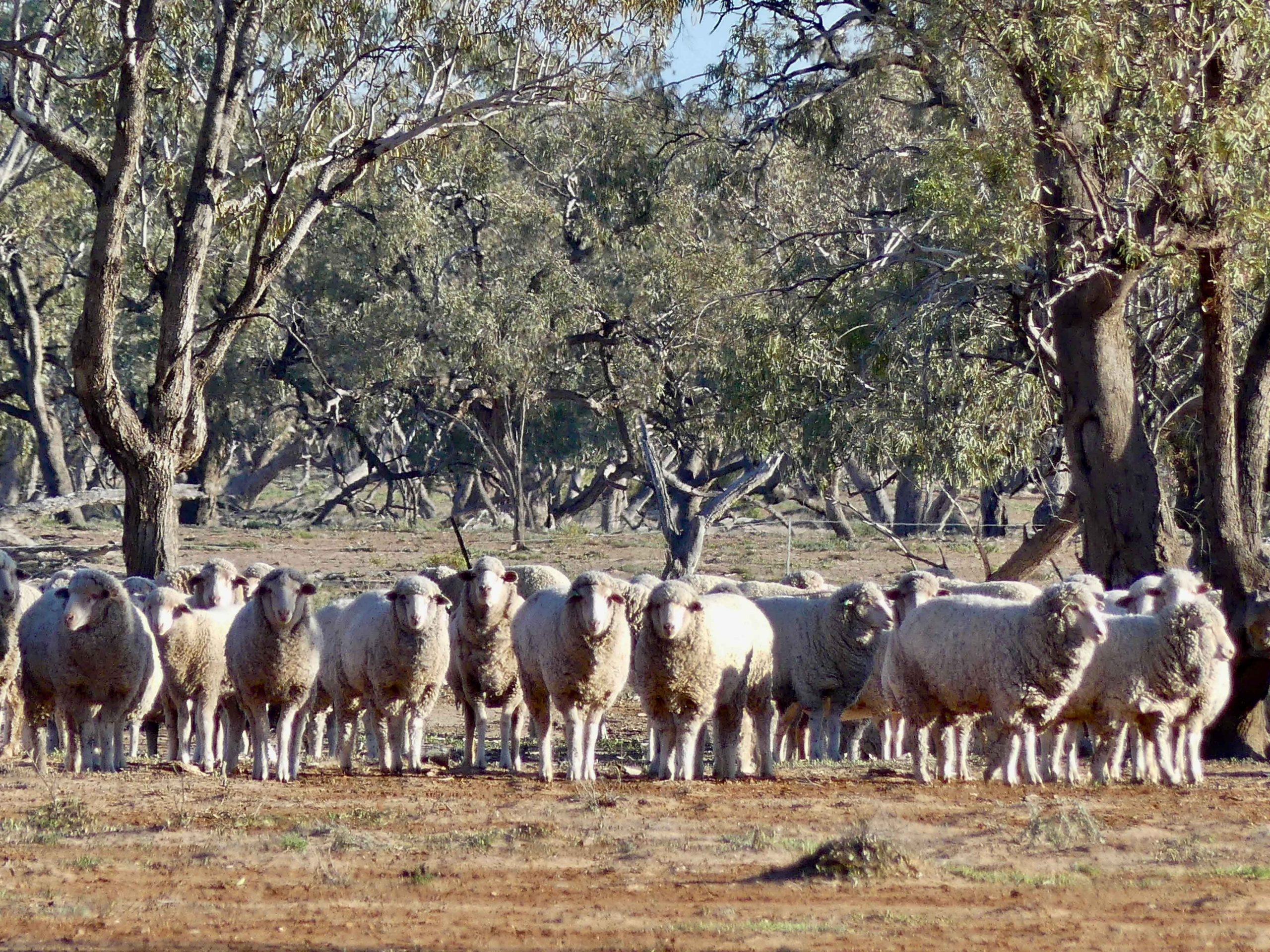 Dohne and Merino sheep grazing at Charlotte Plains